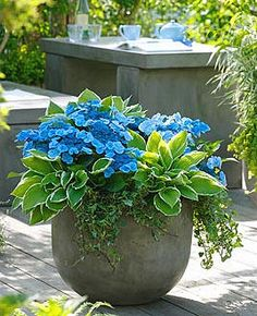 large-pots-with-blue-wave-hydrangeas-and-hostas