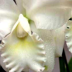 caring-orchid-1