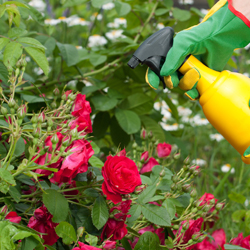 DIY - Do it yourself - Spraying roses in a garden